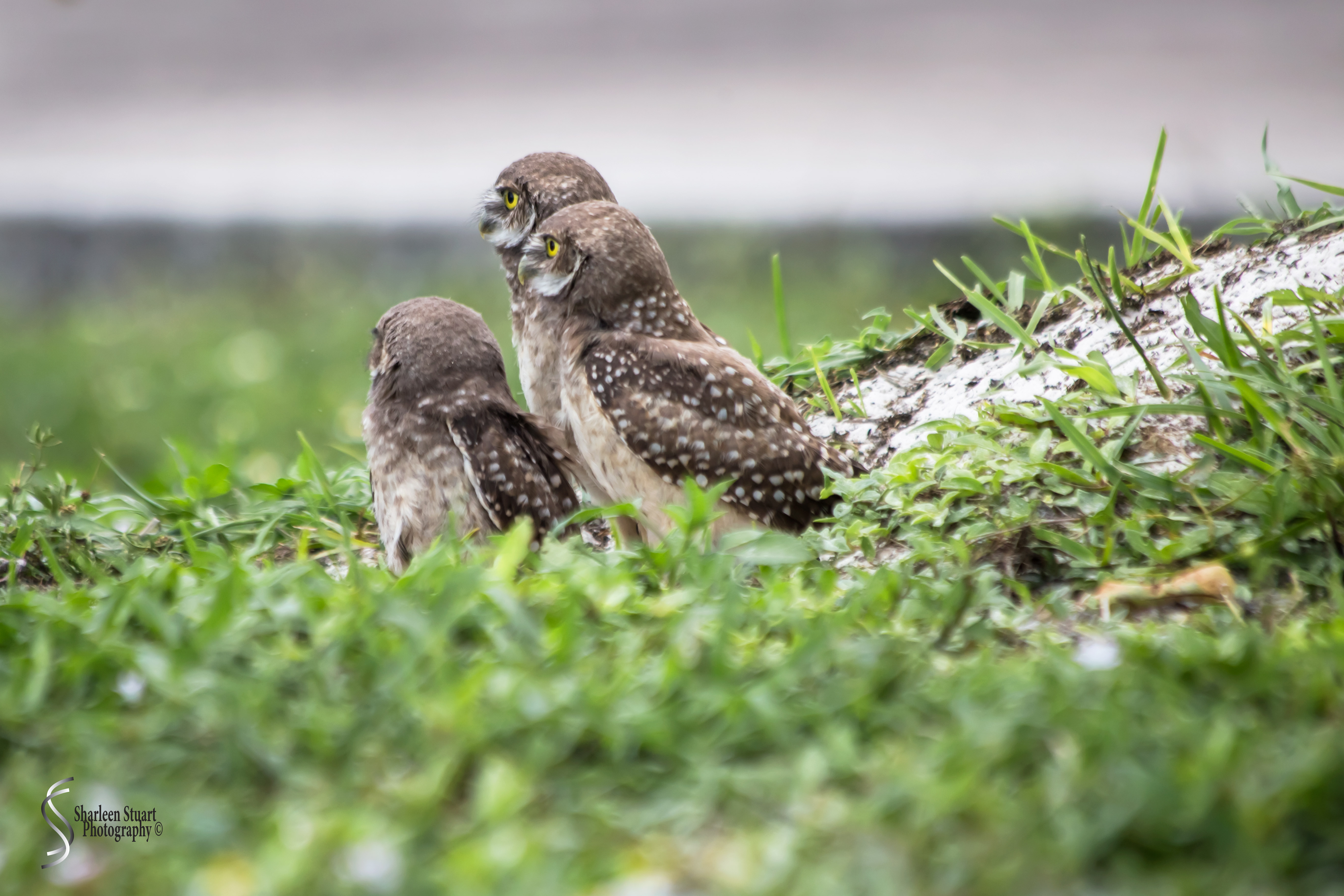 Burrowing Owls: Fort Lauderdale: May 17, 2019: 5138