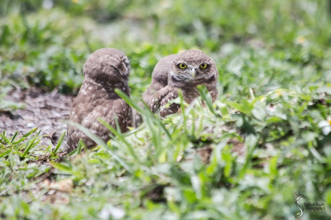 Burrowing Owls: Fort Lauderdale: May 17, 2019: 5155