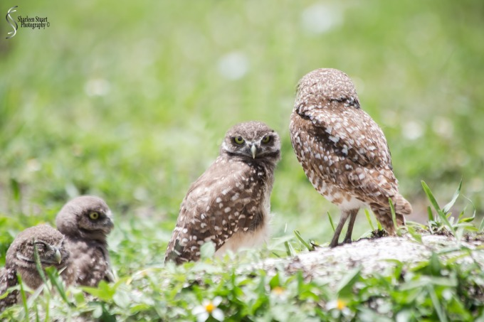 Burrowing Owls: Fort Lauderdale: May 17, 2019: 5163