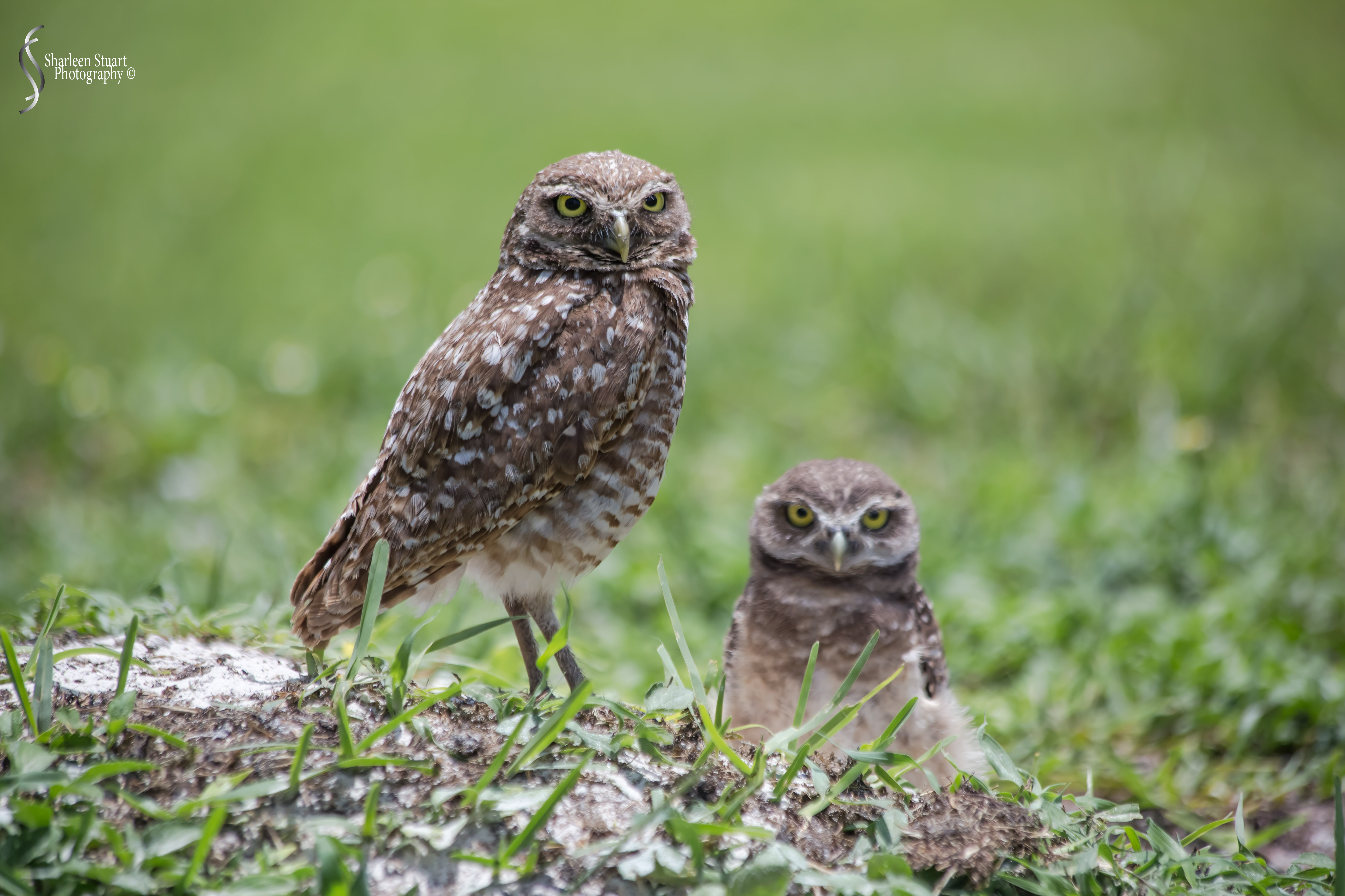 Burrowing Owls: Fort Lauderdale: May 17, 2019: 5173