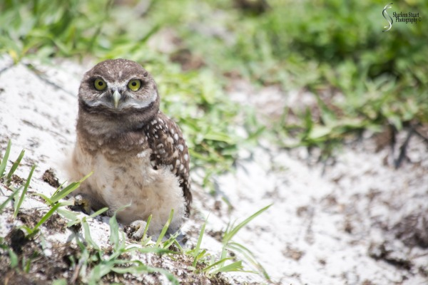 Burrowing Owls: Fort Lauderdale: May 17, 2019: 5175