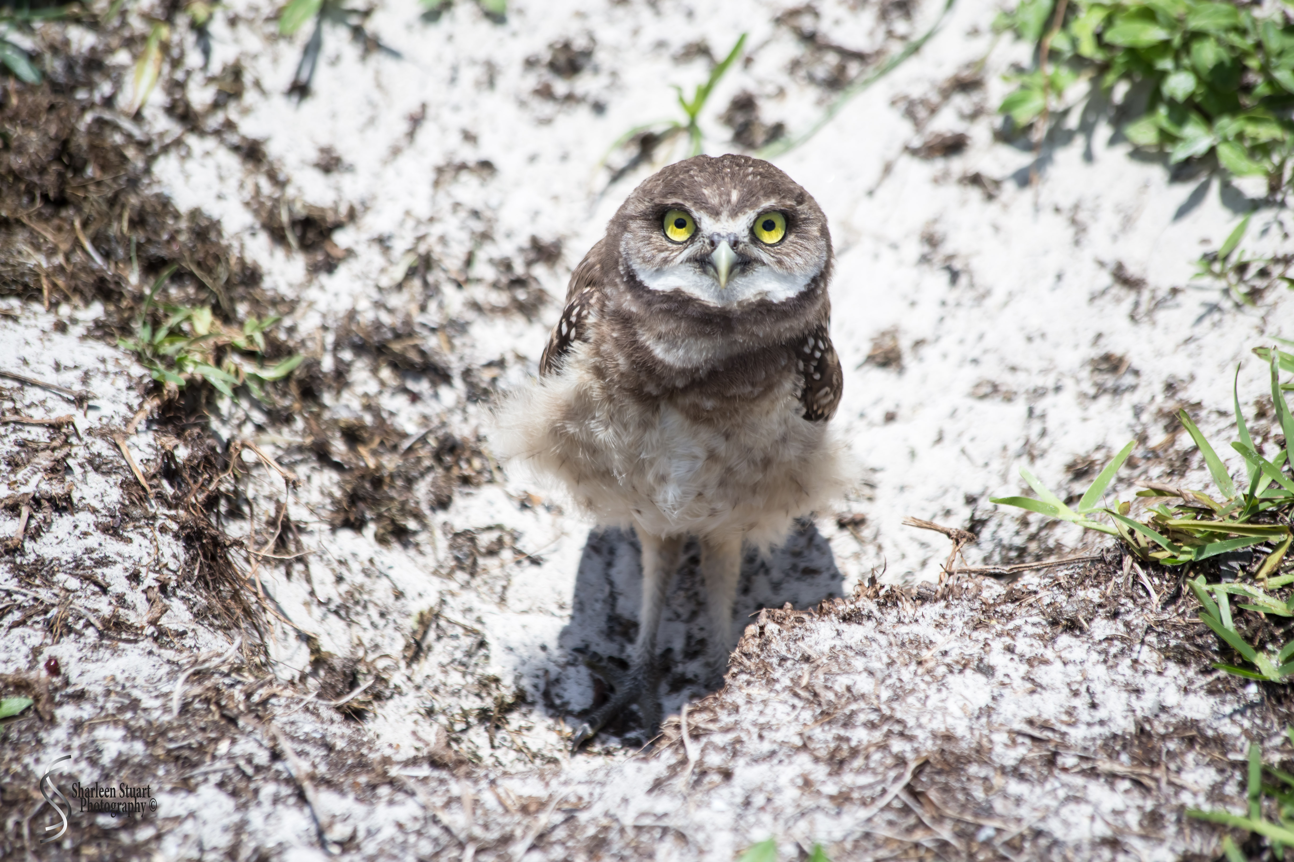 Burrowing Owls: Fort Lauderdale: May 17, 2019: 5179